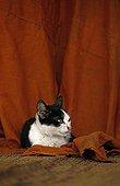 Chat noir et blanc couché sur du tissu rouge Cambodge