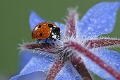 Sevenspotted lady beetle on a Common borage flower France