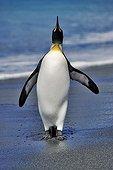 Solitary King penguin walking on the beach Antarctica