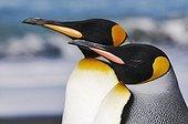 Portrait of the King Penguins Antarctica