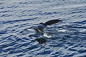 Tail Humpback Whale skimming the water surface