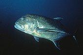 Bluefin Trevally New Caledonia