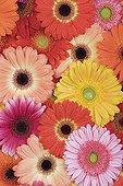 Multiple Barberton Daisy colorful superimposed Studio