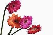 Bouquet decorative Barberton Daisy colorful Studio