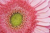 Detail of a heart of Barberton Daisy colorful Studio