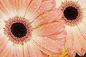 Detail of hearts of Barberton Daisy colorful Studio