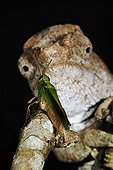 Portrait of a Short-horned Cameleon before its prey