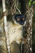 Common Brown Lemur climbing trees Madagascar