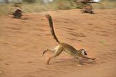 Common Brown Lemur course on earth Madagascar
