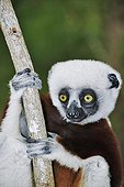 Coquerel's sifaka clinging to a branch Madagascar