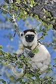 Verreaux's Sifaka clinging to a branch Madagascar