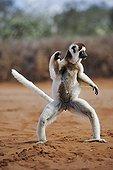 Verreaux's Sifaka bounding on earth Madagascar