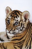 Portrait of a young Tiger resembling a plush Studio