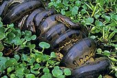 Mating of green Anacondas in a swamp Venezuela ; Mating composed of several males and a female.