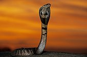 Indian Cobra in defensive posture at sunset India