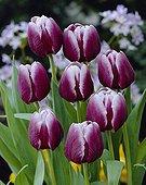 Tulipa Arabian Mystery