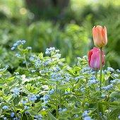 Omphalodes, Tulipa Orange Breeze, Capri