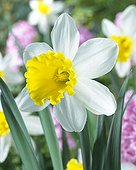 Narcissus 'Wisley'