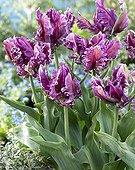 Tulipa Arabian Mystery Parrot