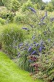 Buddleja davidii Nanho Blue, Fuchsia
