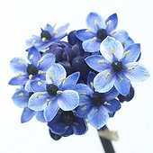 Bright White serie: Ornithogalum blue