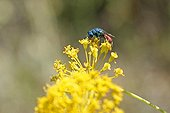 Ruby-tailed wasp on a yellow flowers France