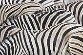 Burchell's Zebras stripes Etosha Namibia