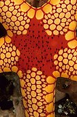 Orange Marble Starfish Celebes Sea Sulawesi Indonesia
