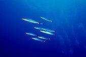 Grands Barracudas Mer Rouge Mer rouge