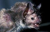 Portrait de vampire d'Azara Amérique du Sud