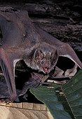 Vampire d'Azara rampant au sol Guyane Française
