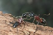 Trophallaxy between two Carpenter ants France ; In the region of Orleans. <br>