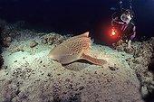 Leopard shark and diver Pass Poum New Caledonia