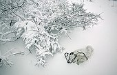 Frozen Arctic Fox trapped on the snow in Manitoba Canada