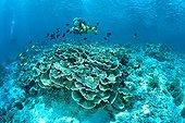 Diver and Fungus Coral Barracuda Point Sidapan Malaysia