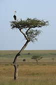 East African Crowned Crane watching for savana from a tree