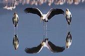 Yellow billed Storks at Nakuru Lake Kenya