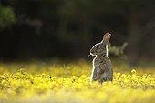 Careful European rabbit next to the burrow Aube France ; Location: Forêt de la Perte.