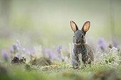 Young careful european rabbit next to its burrow Aube France ; Location: Forêt de la Perte.