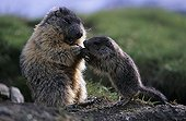 Alpine marmot female feeding its young Austria ; On the Grossglockner mountain, in the Hohe Tauern National Park. <br>@ Austrian species