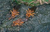 Three couples of common yellow dung flies laying on a dung