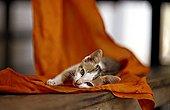 Chaton couché sur du tissu orange Siem Reap Cambodge