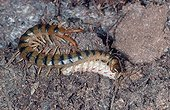 Megarian banded Centipede eating its prey