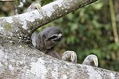 Pale-throated three-toed sloth clinging to a branch Peru