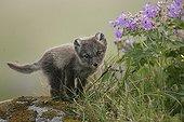 Arctic fox cub gazing with interest something Iceland ; Fox cub is few weeks old.