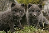 Arctic fox cubs gazing with interest something Iceland ; Fox cubs, few weeks old, are staring at the photographer's lens.