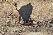 Shadow on a rockface of a Namaqua chameleon