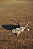 Shadow of a Namaqua chameleon walking Namibia