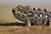 Portrait of a Namaqua chameleon eating an insect Namibia