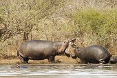Hippopotamus adult threatening a young South Africa